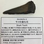 サメの歯の化石
